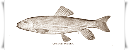 Common Sucker